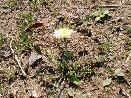 春を探しに ~白いタンポポ~_f0163105_1495453.jpg