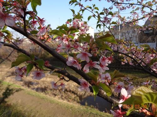 サクラ、さくら、桜と新緑、小金井公園桜祭り、アベノミクスとアベノリスク_e0223735_14101157.jpg
