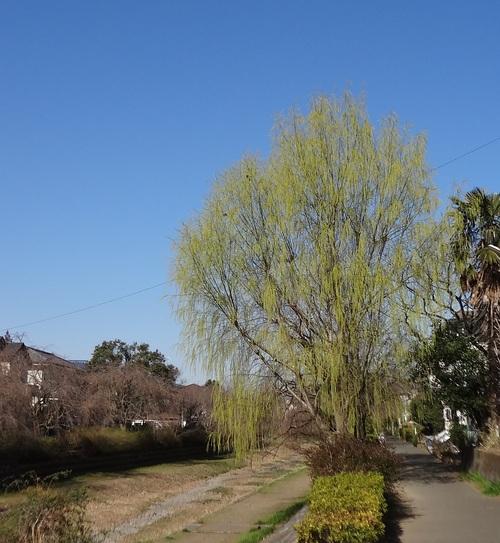 サクラ、さくら、桜と新緑、小金井公園桜祭り、アベノミクスとアベノリスク_e0223735_14104868.jpg