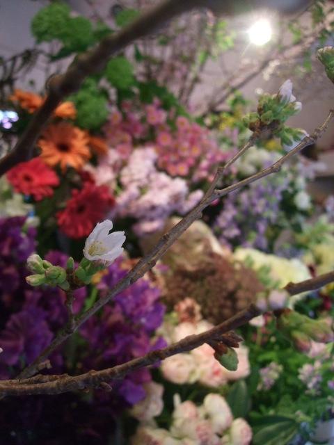 オークリーフ(桜の開花)_f0049672_16334042.jpg
