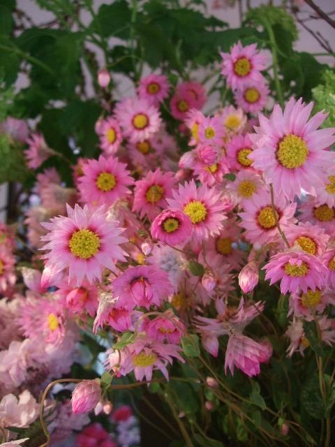 オークリーフ(桜の開花)_f0049672_16412836.jpg
