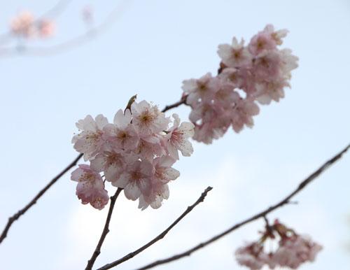 知恩寺のフジさくら_e0048413_21134221.jpg