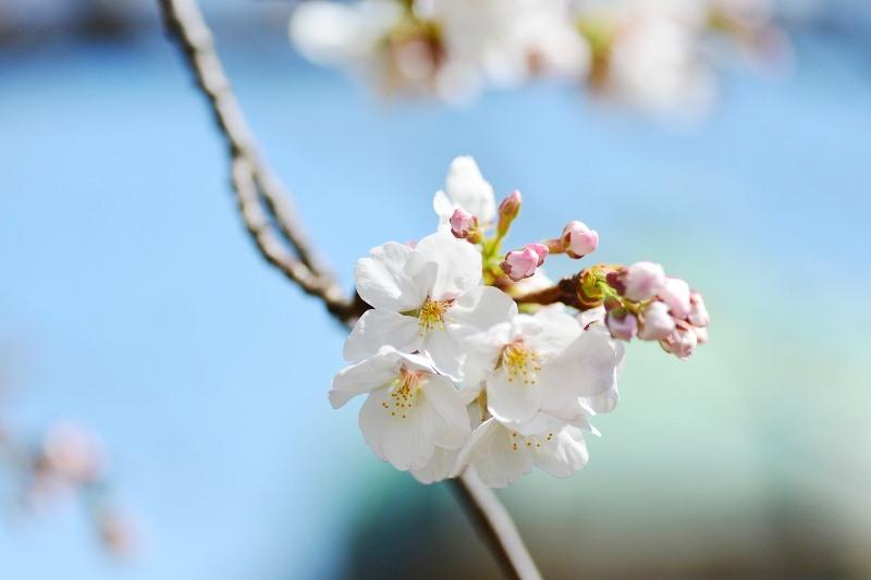 桜 2013 ヴェルニー公園_d0065116_21473194.jpg