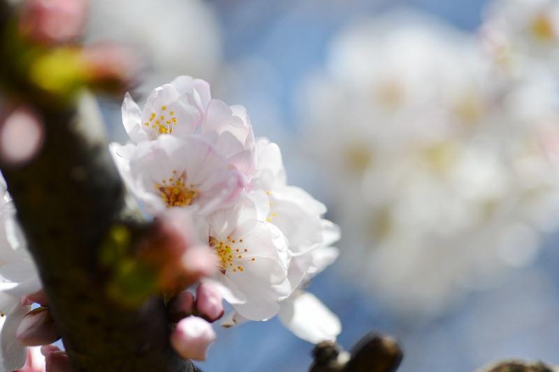 桜 2013 ヴェルニー公園_d0065116_2148218.jpg