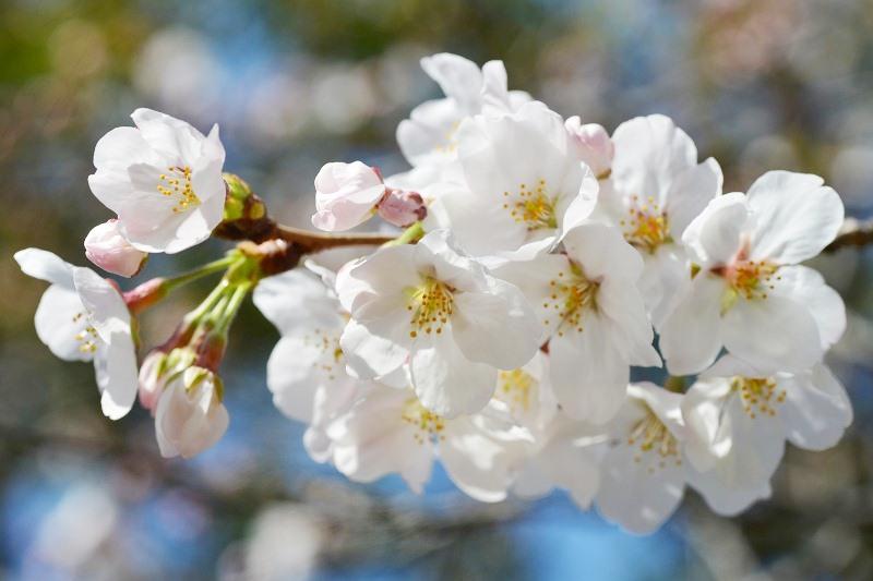 桜 2013 ヴェルニー公園_d0065116_21522929.jpg
