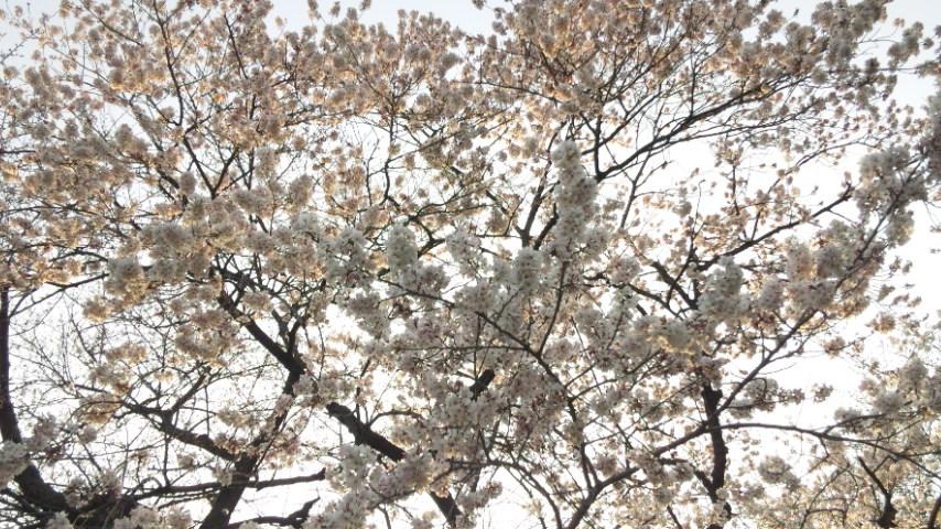 桜さいた♪ラファエロ展_d0085018_21373638.jpg