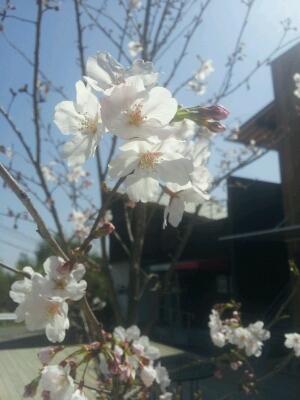 お店周りの春_e0207360_1152766.jpg