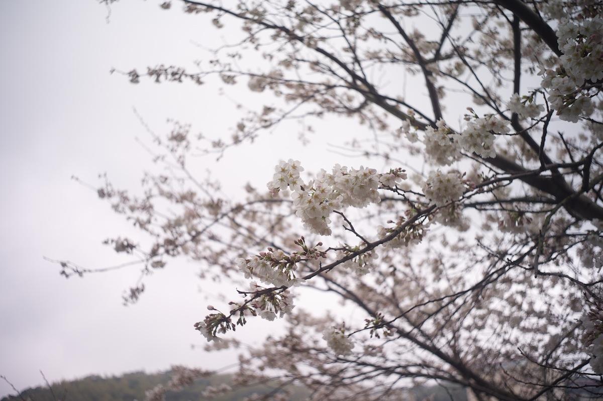 自宅前の桜_f0231512_20521039.jpg