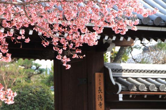 長徳寺のおかめ桜_e0048413_16173192.jpg