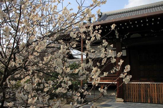 長徳寺のおかめ桜_e0048413_16181928.jpg
