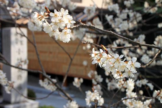 長徳寺のおかめ桜_e0048413_16183073.jpg