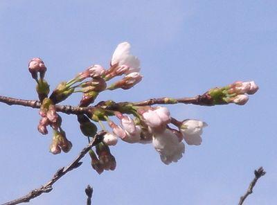 桜の開花_e0152233_950249.jpg