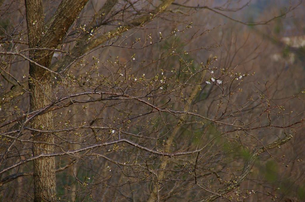 山の桜サイタ_f0043750_20184461.jpg