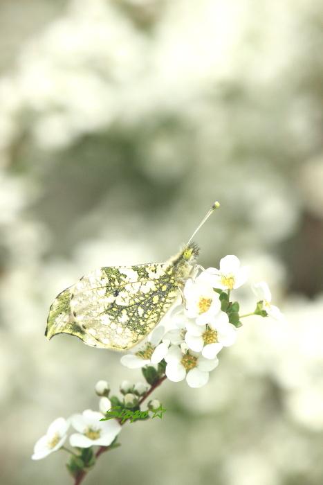■■ Spring Ephemeral ■■_c0195662_2224345.jpg
