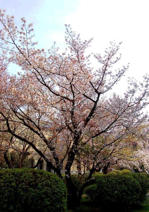 行かなくちゃ~♪♪、京都府庁旧本館!の、容保桜!に、逢いに、行かなくちゃ~♪♪ハハハーー。_d0060693_19434456.jpg