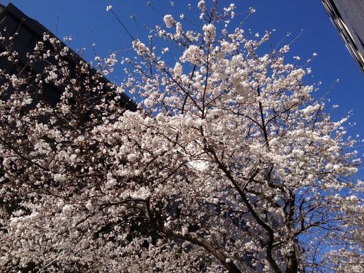 日本橋の桜_c0093301_851569.jpg