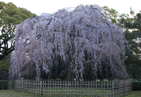京都御苑1 桜・桃・梅そろい咲き_e0048413_191914100.jpg