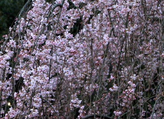 京都御苑1 桜・桃・梅そろい咲き_e0048413_19192872.jpg