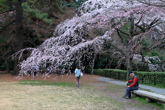 京都御苑1 桜・桃・梅そろい咲き_e0048413_19194345.jpg