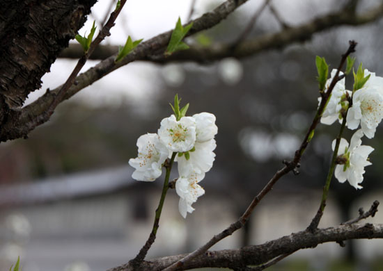京都御苑1 桜・桃・梅そろい咲き_e0048413_19201451.jpg