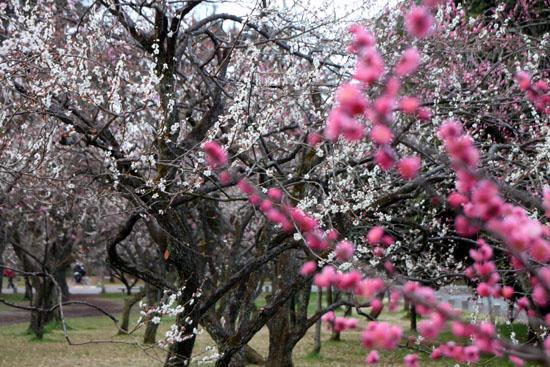 京都御苑1 桜・桃・梅そろい咲き_e0048413_19203875.jpg