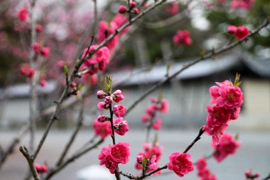 京都御苑1 桜・桃・梅そろい咲き_e0048413_1920439.jpg