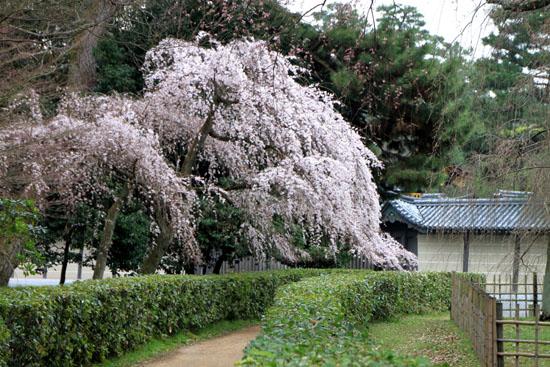 京都御苑2 近衛邸跡のしだれ桜_e0048413_2215092.jpg