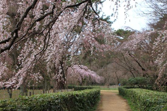 京都御苑2 近衛邸跡のしだれ桜_e0048413_22151543.jpg