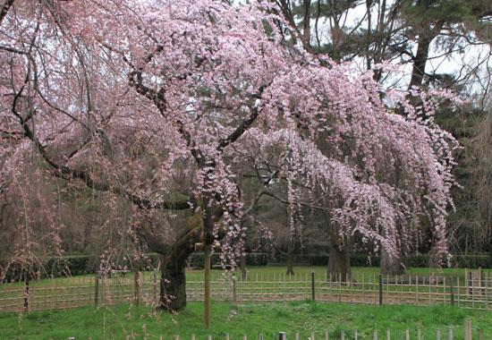 京都御苑2 近衛邸跡のしだれ桜_e0048413_22153050.jpg