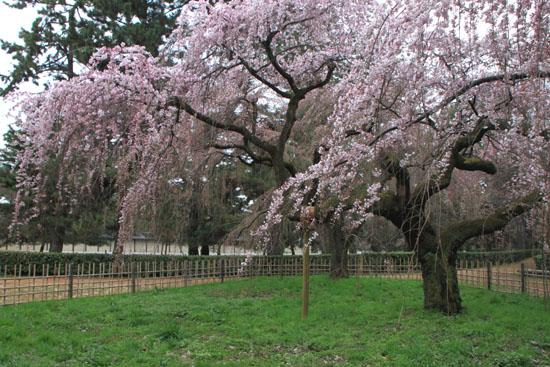 京都御苑2 近衛邸跡のしだれ桜_e0048413_2215424.jpg