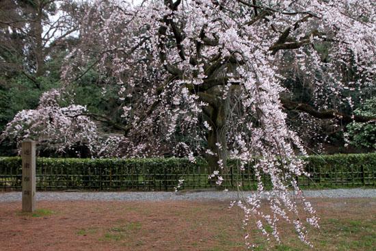 京都御苑2 近衛邸跡のしだれ桜_e0048413_22155434.jpg