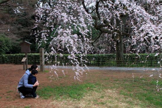 京都御苑2 近衛邸跡のしだれ桜_e0048413_22161033.jpg