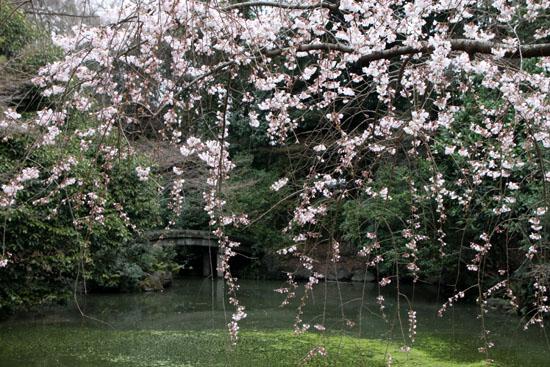 京都御苑2 近衛邸跡のしだれ桜_e0048413_2216249.jpg