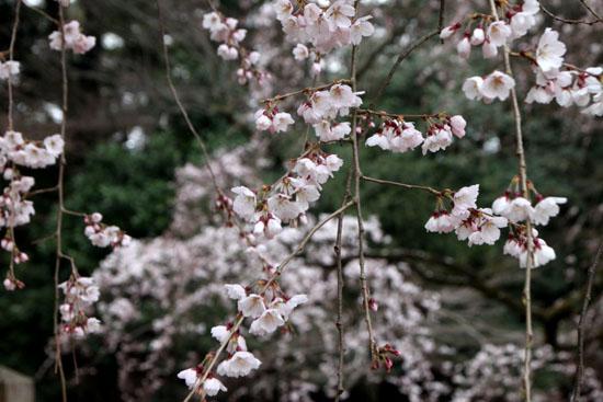 京都御苑2 近衛邸跡のしだれ桜_e0048413_22163612.jpg