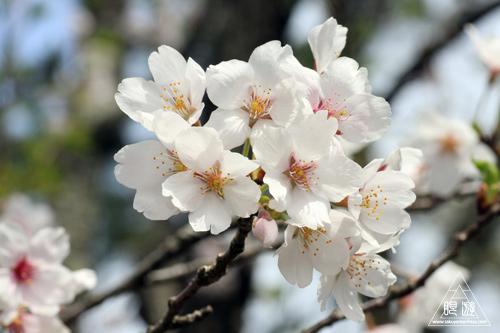 160 熊野大社 ~ソメイヨシノとスミレ~_c0211532_19303662.jpg