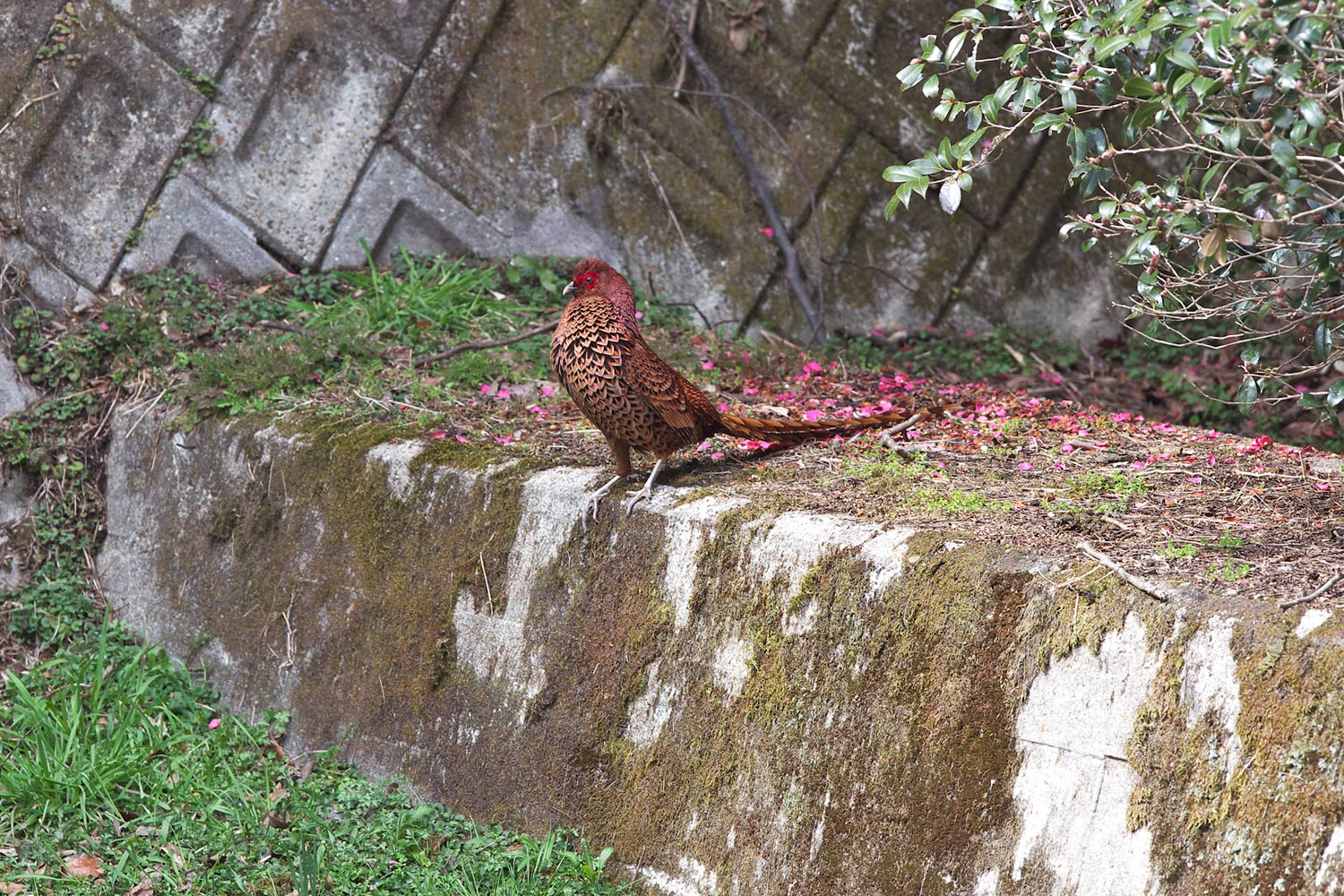 ヤマドリ(Copper Pheasant)_d0013455_11445167.jpg