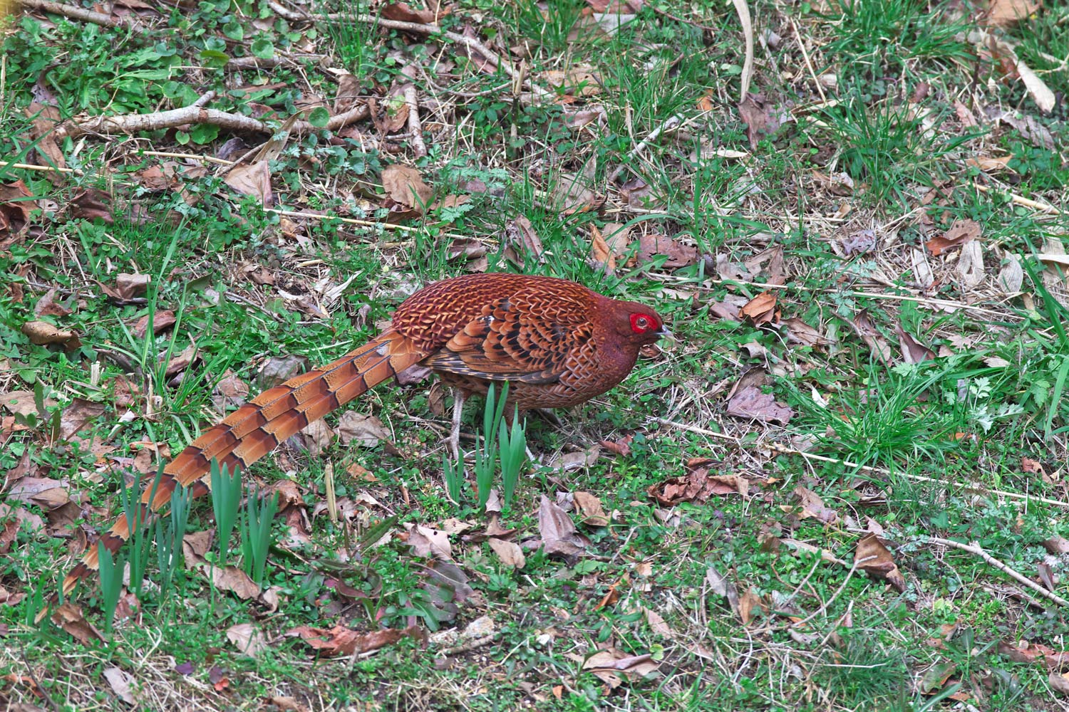ヤマドリ(Copper Pheasant)_d0013455_11452148.jpg