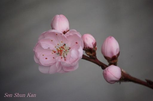 桃と花桃の花_a0164068_1143937.jpg