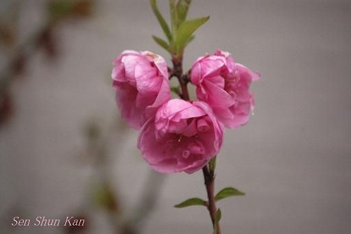 桃と花桃の花_a0164068_114538.jpg