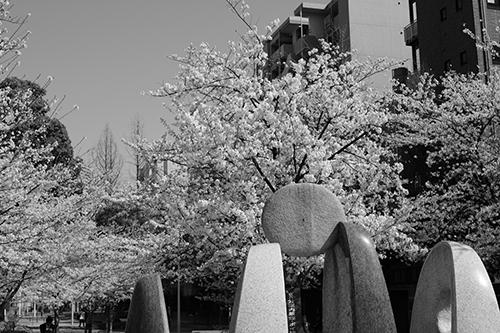 今日は行く先々で桜が満開!八丁堀 - 六本木。田村写真では話しが満開!_b0194208_2115576.jpg