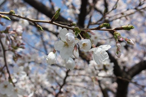 桜咲く!桜アイスと本蕨もち_c0248011_22342196.jpg