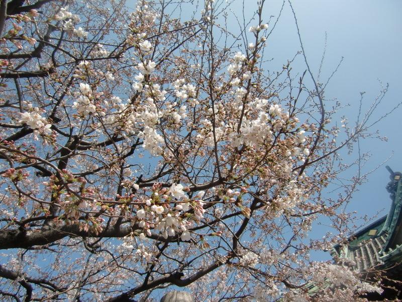 3月22日 こんなに咲いて・・・・(T_T)_d0278912_2257985.jpg