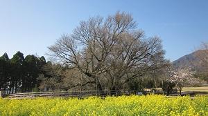 一心行の大桜 ~南阿蘇村~_b0228113_9195231.jpg