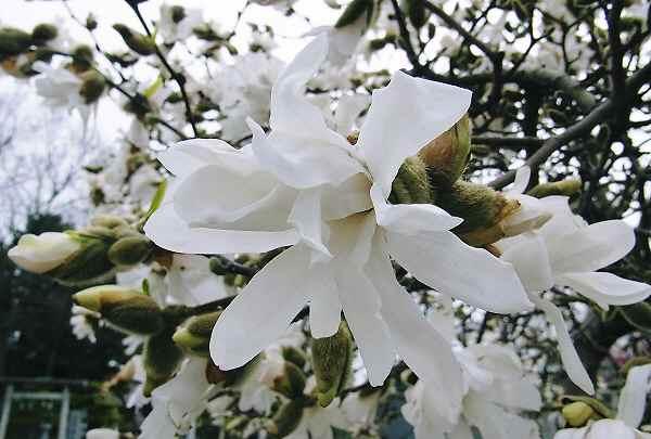 コブシの花と _f0214527_21441945.jpg