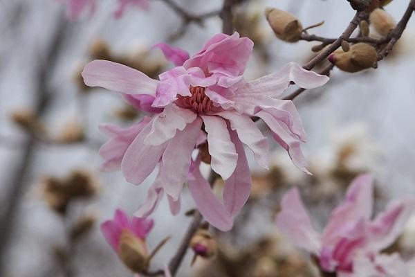 コブシの花と _f0214527_21444489.jpg