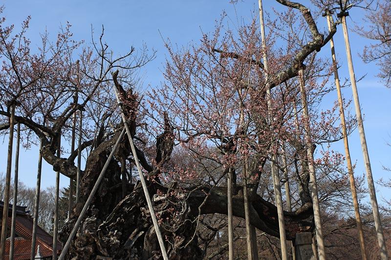 今年も桜の時期が始まりました_b0179231_20435662.jpg