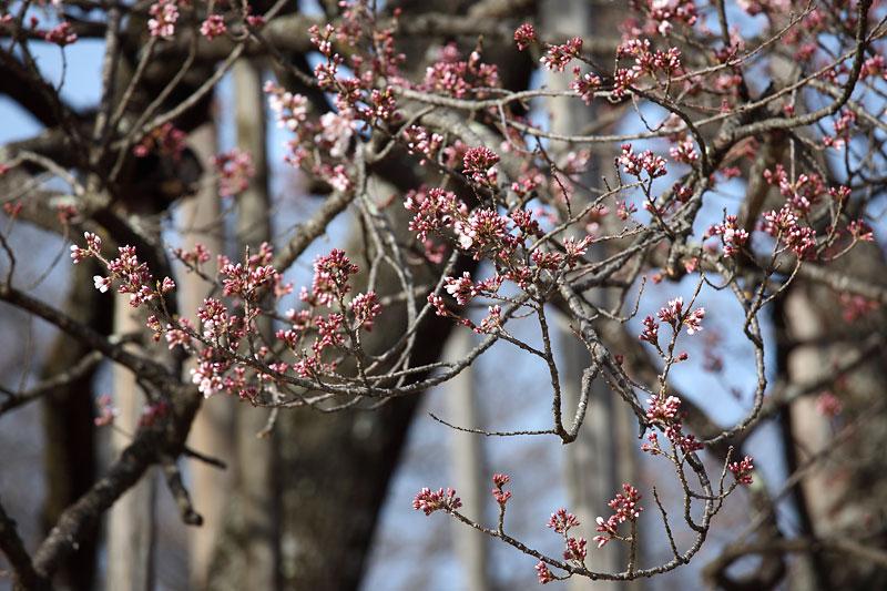 今年も桜の時期が始まりました_b0179231_2044120.jpg