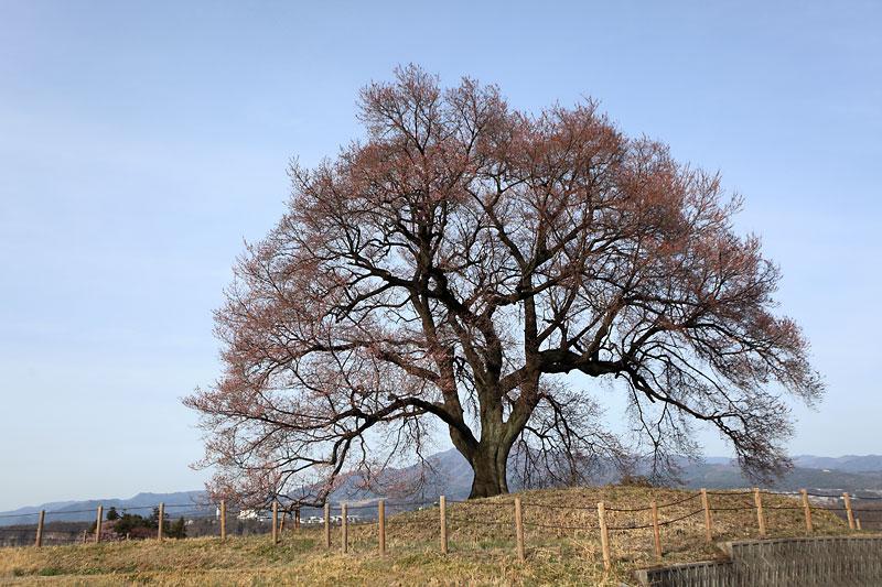 今年も桜の時期が始まりました_b0179231_2044417.jpg