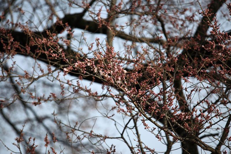 今年も桜の時期が始まりました_b0179231_2044783.jpg