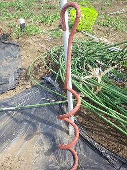 今年の吊り栽培準備_a0139242_6114866.jpg